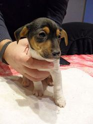 Jeck, chien Jack Russell Terrier