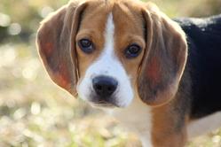 Jecko, chien Beagle