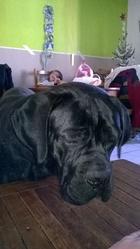 Jedai, chien Cane Corso