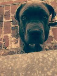 Jedi, chien Cane Corso
