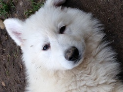 Jedy, chien Berger blanc suisse