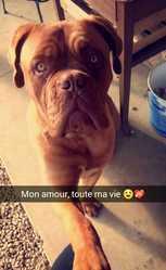 Jedy, chien Dogue de Bordeaux