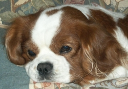Jee Bee Parti Au Paradis, chien Cavalier King Charles Spaniel