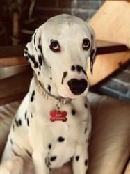 Jeep, chien Dalmatien