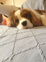 Jeep, chien Cavalier King Charles Spaniel