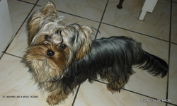 Jeeper Lee, chien Yorkshire Terrier