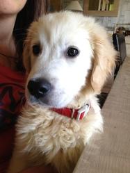 Jeepsie, chien Golden Retriever