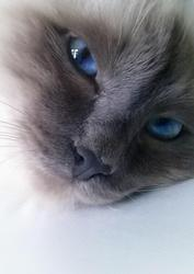 Jeff, chat Birman