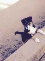 Jeff, chien Berger australien