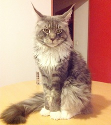 Jefferson, chat Maine Coon