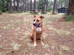 Jehna, chien American Staffordshire Terrier