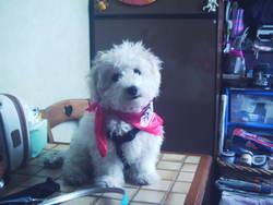 Jeiki, chien Bichon à poil frisé