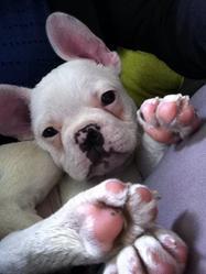 Jeiko, chien Bouledogue français