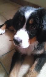 Jeiko, chien Bouvier bernois