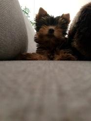 Jeka , chien Yorkshire Terrier