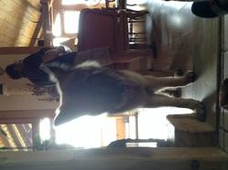 Jekil, chien Berger allemand