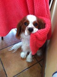 Jekko, chien Cavalier King Charles Spaniel