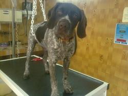 Jeko, chien Braque allemand à poil dur
