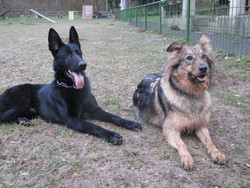 Jekyll, chien Berger allemand