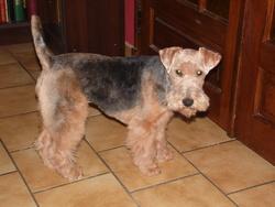 Jelkia, chien Welsh Terrier