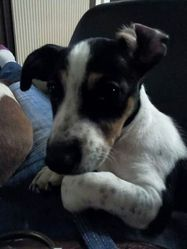 Jelly, chien Jack Russell Terrier