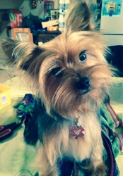Jelly, chien Yorkshire Terrier