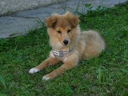 Jelly, chien Berger des Shetland