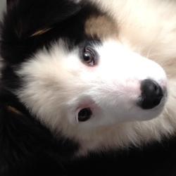 Jelly, chien Berger australien