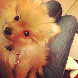 Jelly, chien Spitz allemand