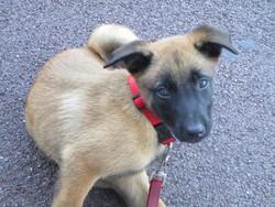 Jellyka, chien Berger belge