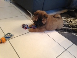 Jembo, chien Chow-Chow