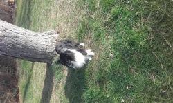 Jemini, chien Berger des Shetland