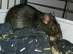 Jemy, rongeur Rat