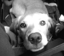 Jena, chien Labrador Retriever