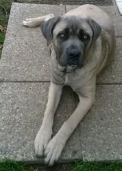 Jena, chien Cane Corso
