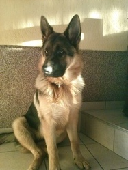 Jena, chien Berger allemand