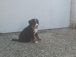Jencka, chien Bouvier bernois