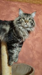 Jencko, chat Maine Coon