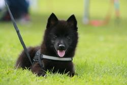 Jengo, chien Schipperke