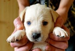 Jenka, chien Labrador Retriever