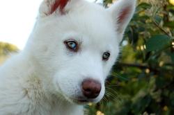 Jenka, chien Husky sibérien