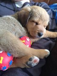 Jenka, chien Beauceron