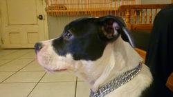 Jenka, chien American Staffordshire Terrier