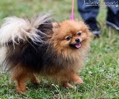 Jenn, chien Spitz allemand