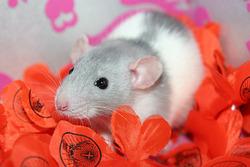 Ind Jenna, rongeur Rat