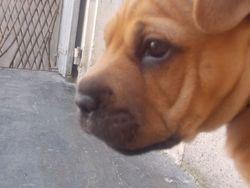 Jenna, chien Shar Pei