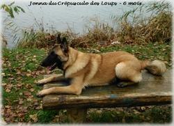 Jenna, chien Berger belge
