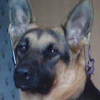 Jenna, chien Berger allemand