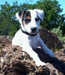 Jenna, chien Jack Russell Terrier