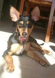 Jenna, chien Pinscher